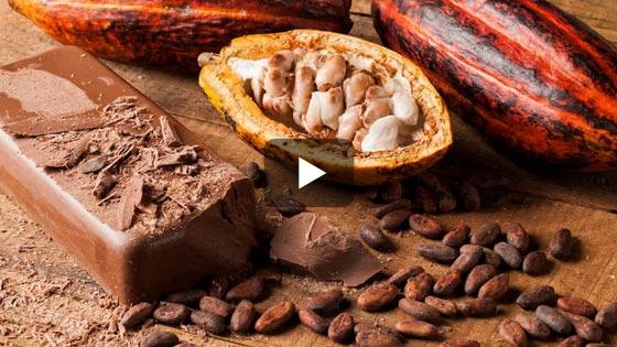 La fève de cacao dont sera extrait la pâte de cacao…